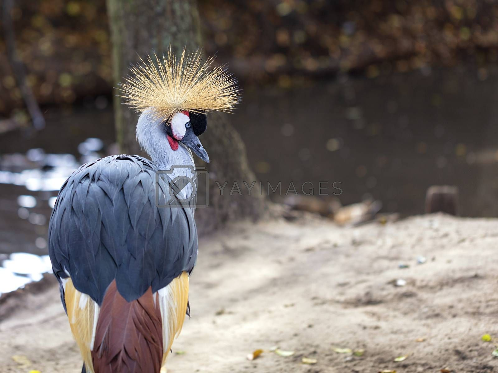 Royalty free image of Glance and head of Gray Crowned Crane by Sergii