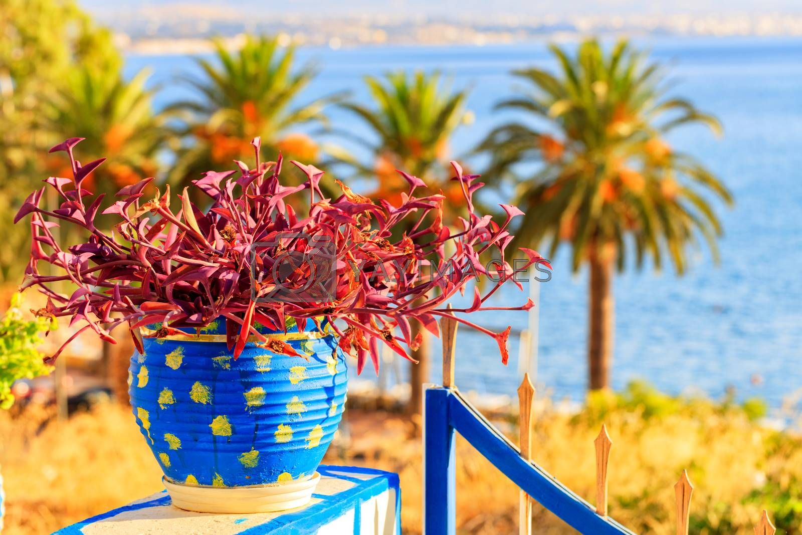 Colorful garden plants with red leaves in a blue pot close-up on a sunny summer day on the balcony building against the background of tall palm trees and the sea bay in Greece.