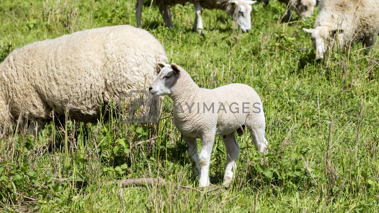 Royalty free image of Sheep in a meadow by Fr@nk