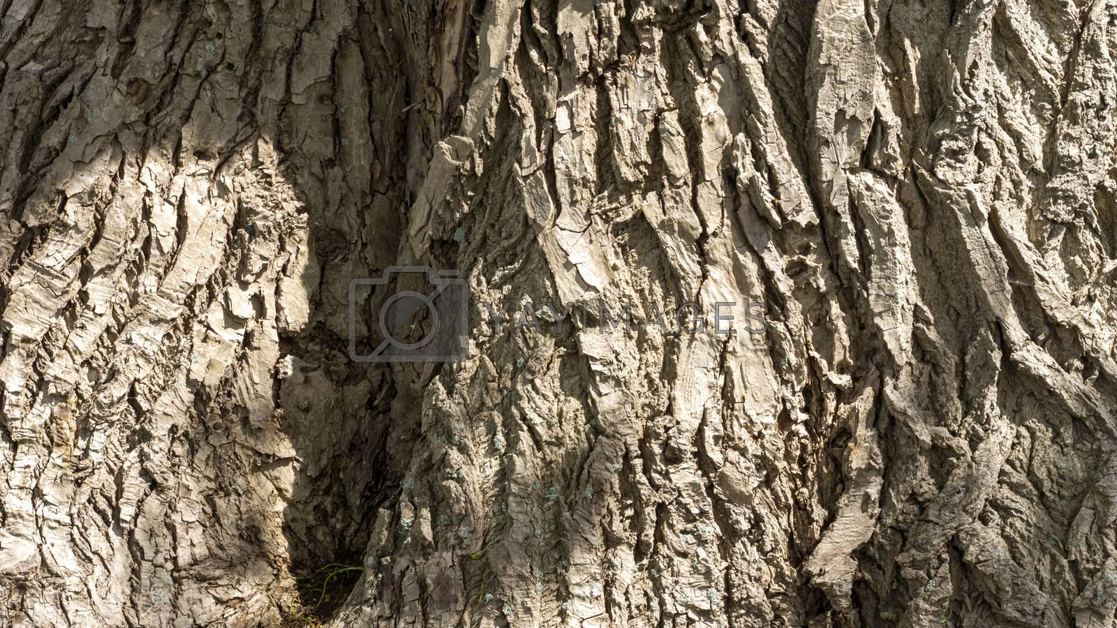 Royalty free image of Poplar tree bark by Fr@nk