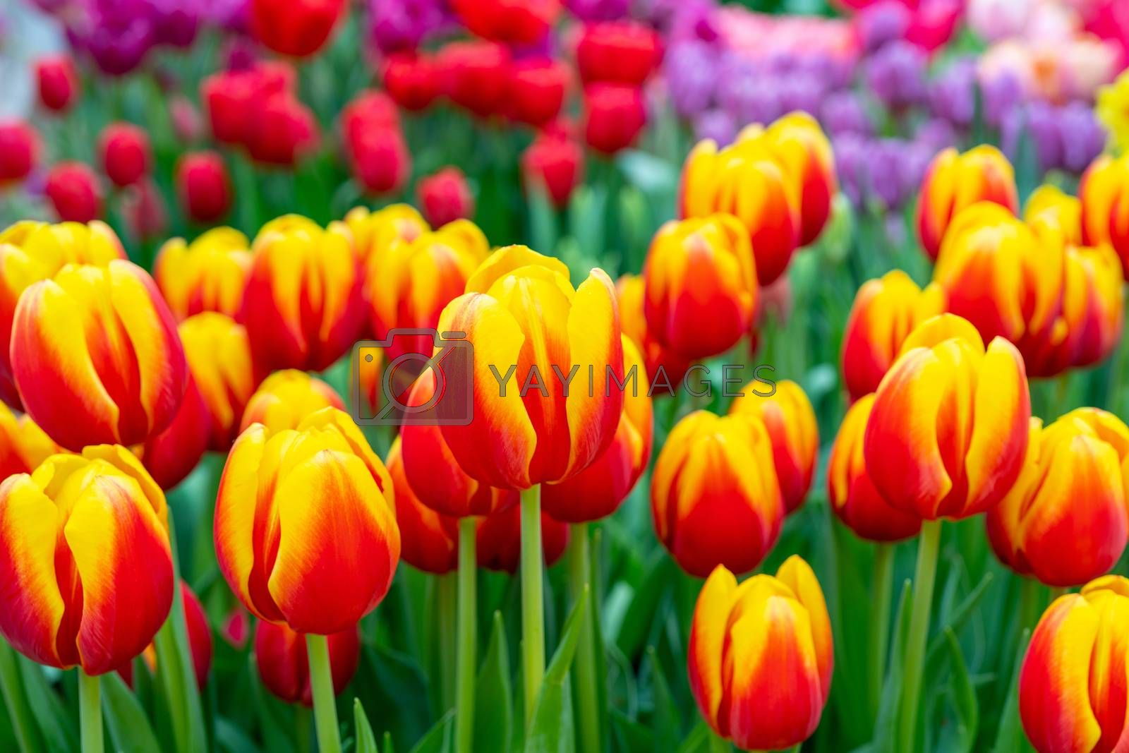 Beautiful flowers red tulips. Natural background Spring flowering tulips.