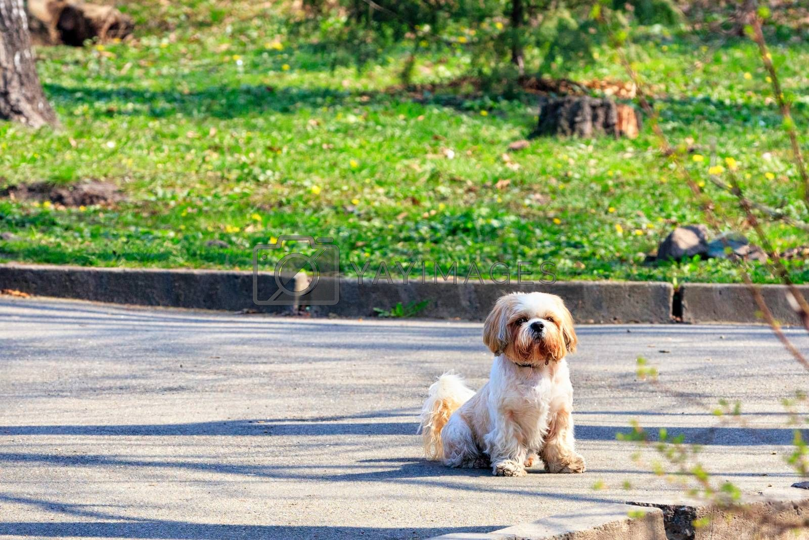 Shitsu funny hairy dog is sitting on the asphalt sidewalk against the background of a city park and green grass in blur and is carefully looking forward on a sunny spring day, image with copy space.