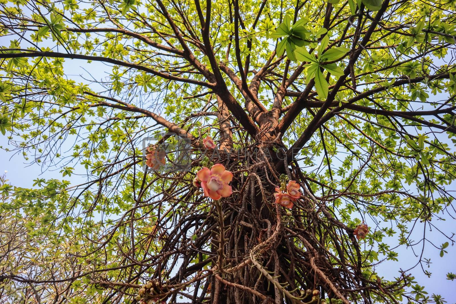Shorea robusta, the sal tree, is a species of tree in the family Dipterocarpaceae
