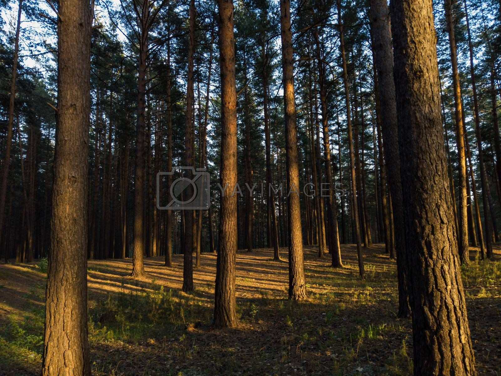 scene in the forest on the sunset with sun rays