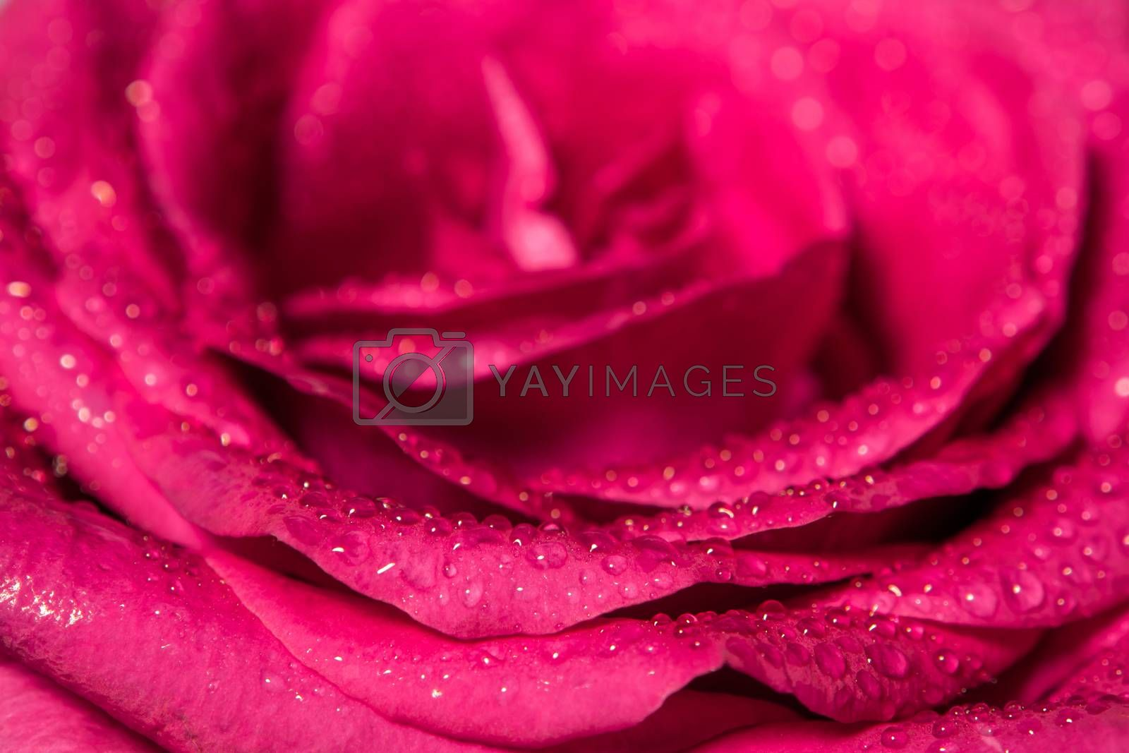 Royalty free image of Sweet color of pink rose , Romance color natural floral backgrou by Satakorn