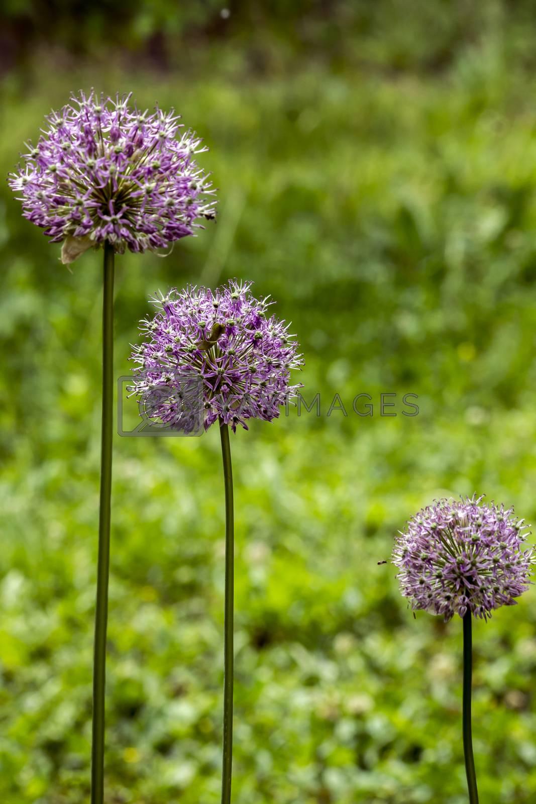 The giant ornamental onion (Allium giganteum) spring buds.