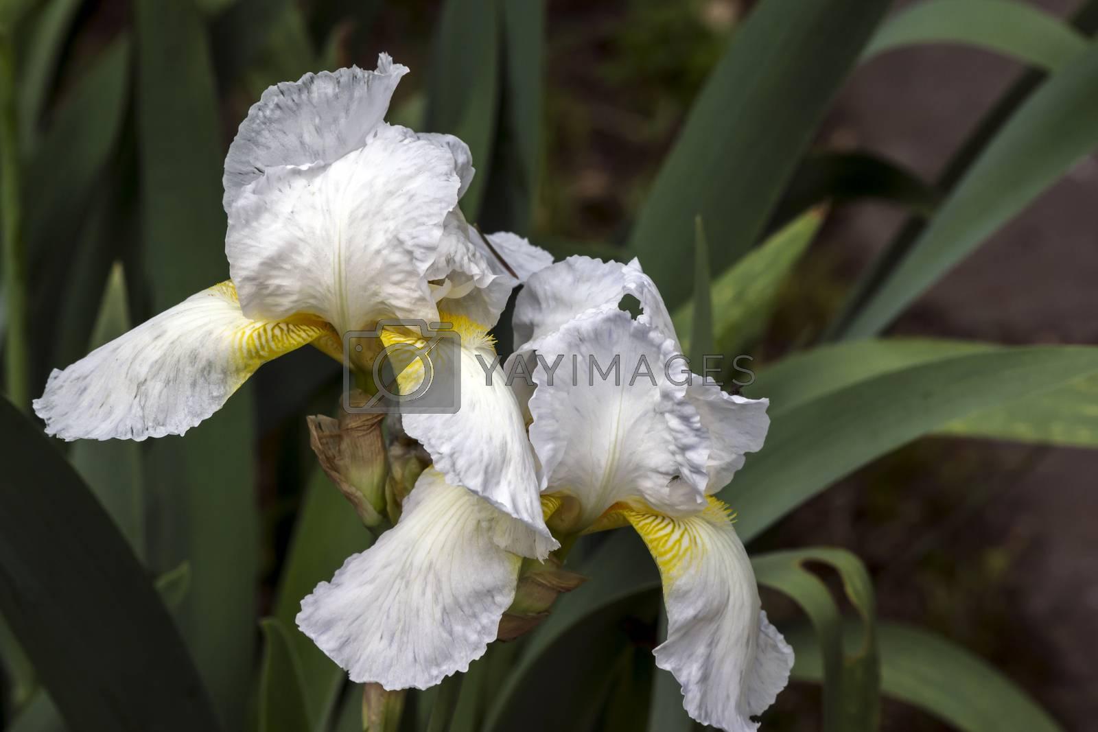 The spring garden ornament in the iris flower.