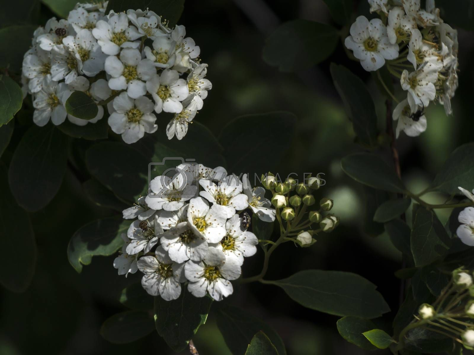 The ordinary spirea (Spiraea x Vanhoutte) undemanding shrub garden.