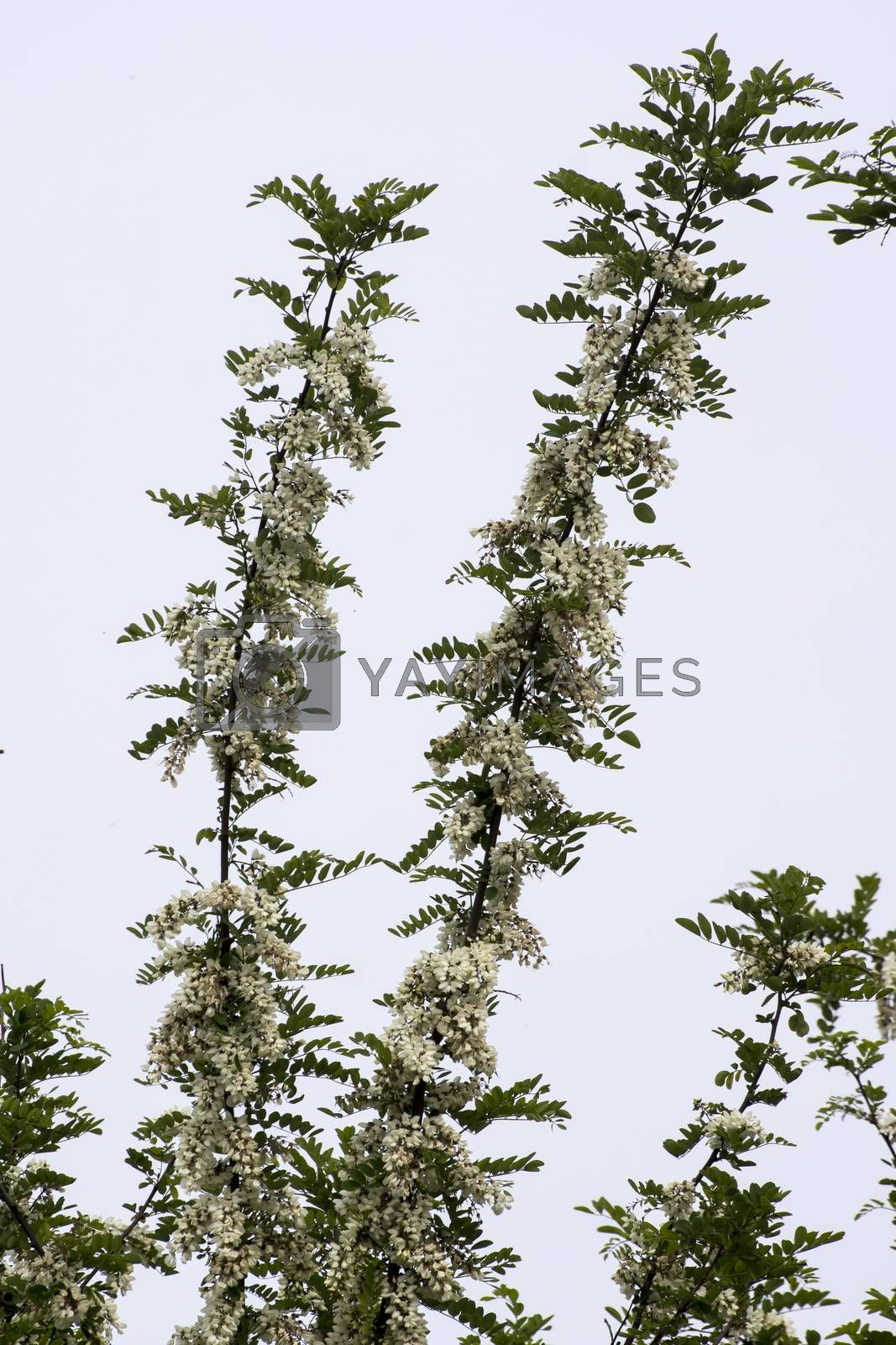 The strong aroma of white acacia flowers.