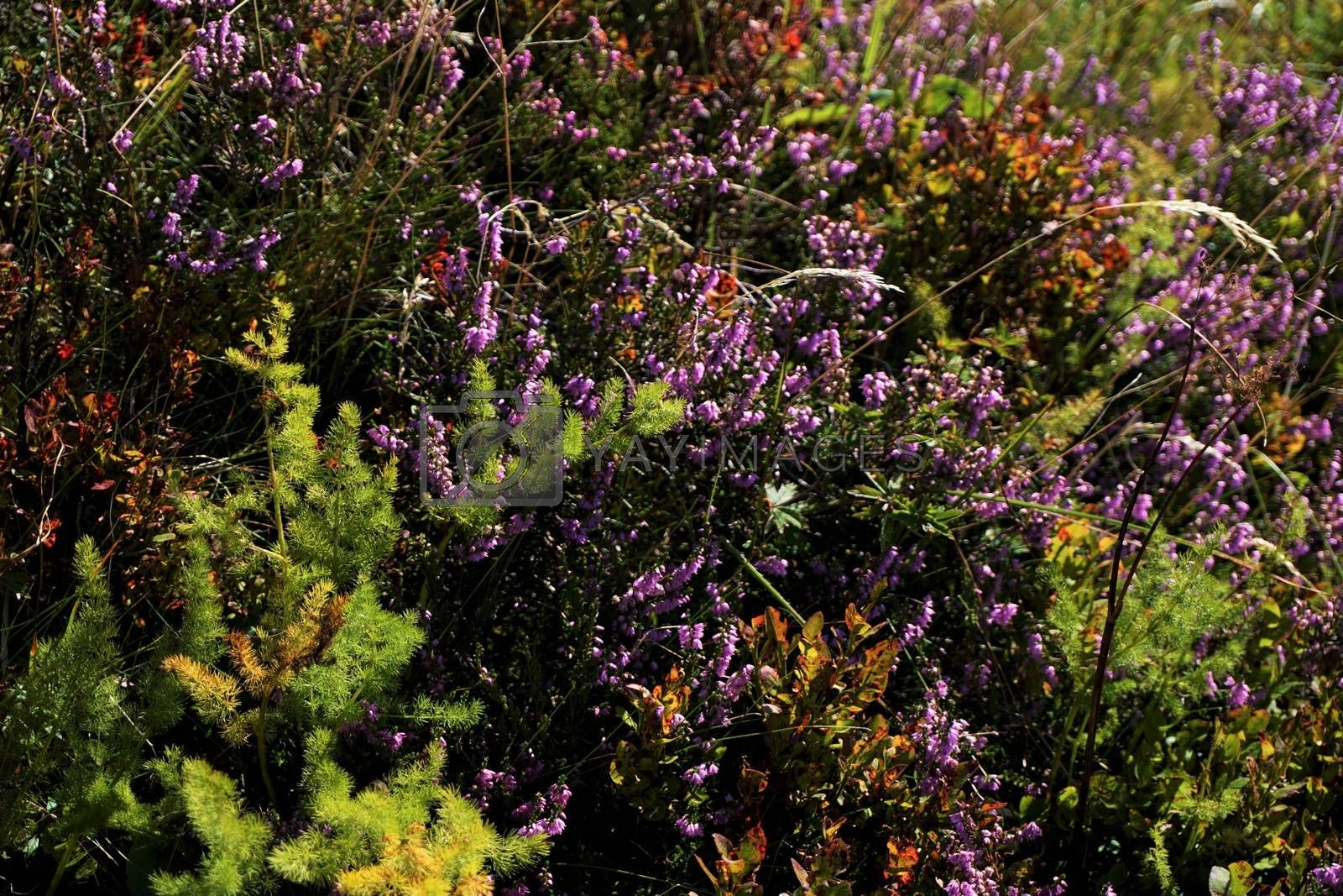 Common heather Calluna spotted on a meadow on the flanks of Hohneck mountain, France