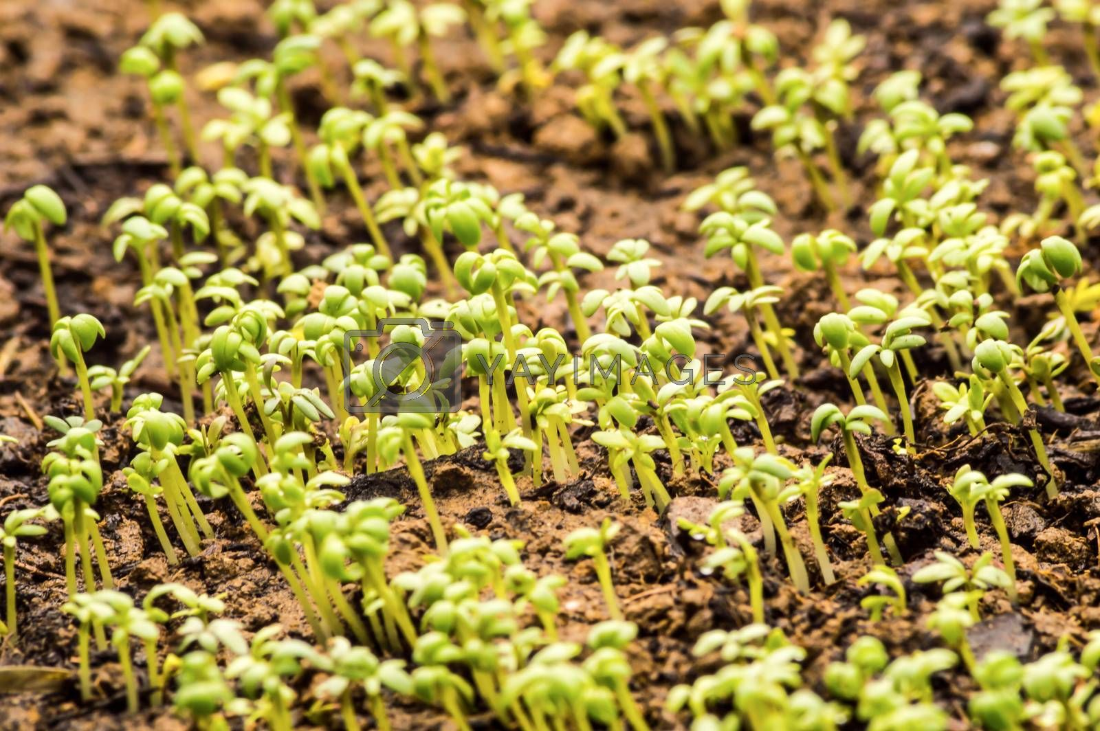 close-up of watercress in the ground. by Philou1000