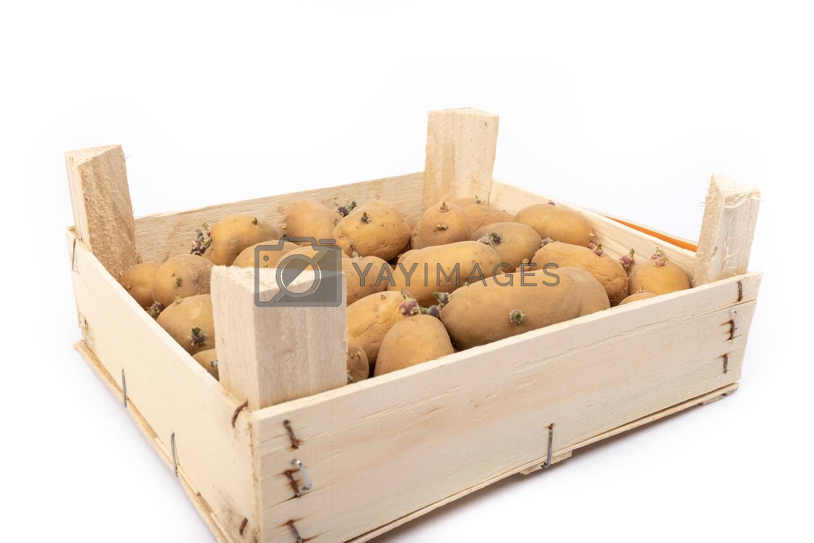 crate of sprouted potato plant ready for planting - on white background in studio