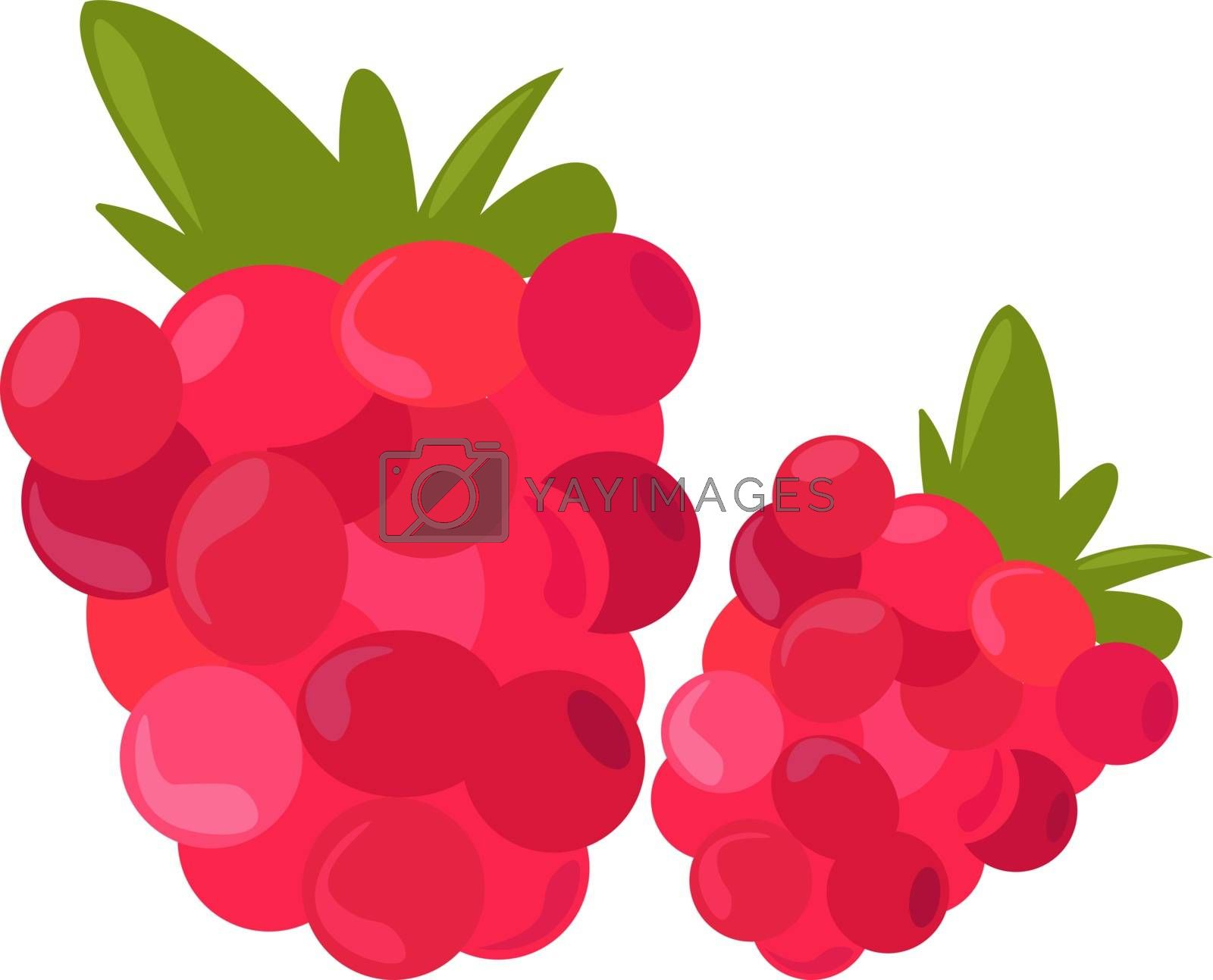 Raspberry, illustration, vector on white background.