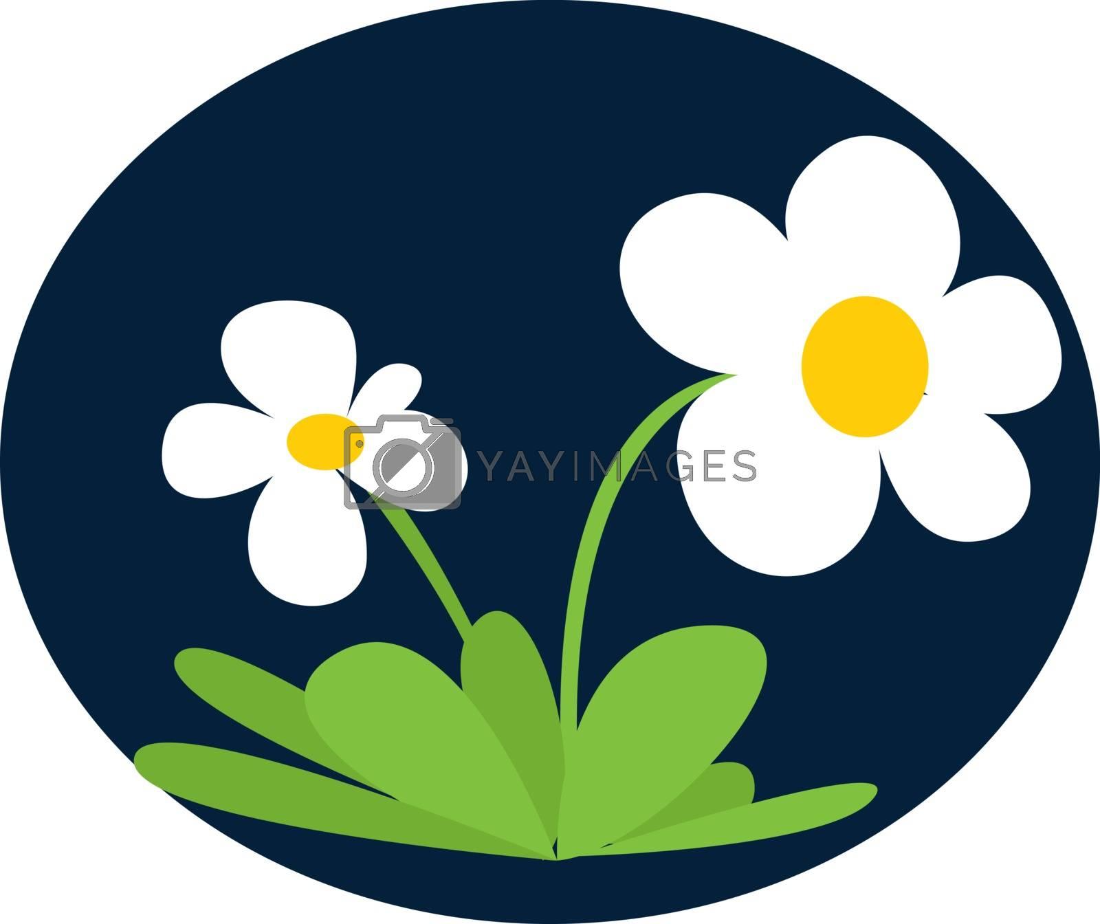 Daisies flower, illustration, vector on white background.