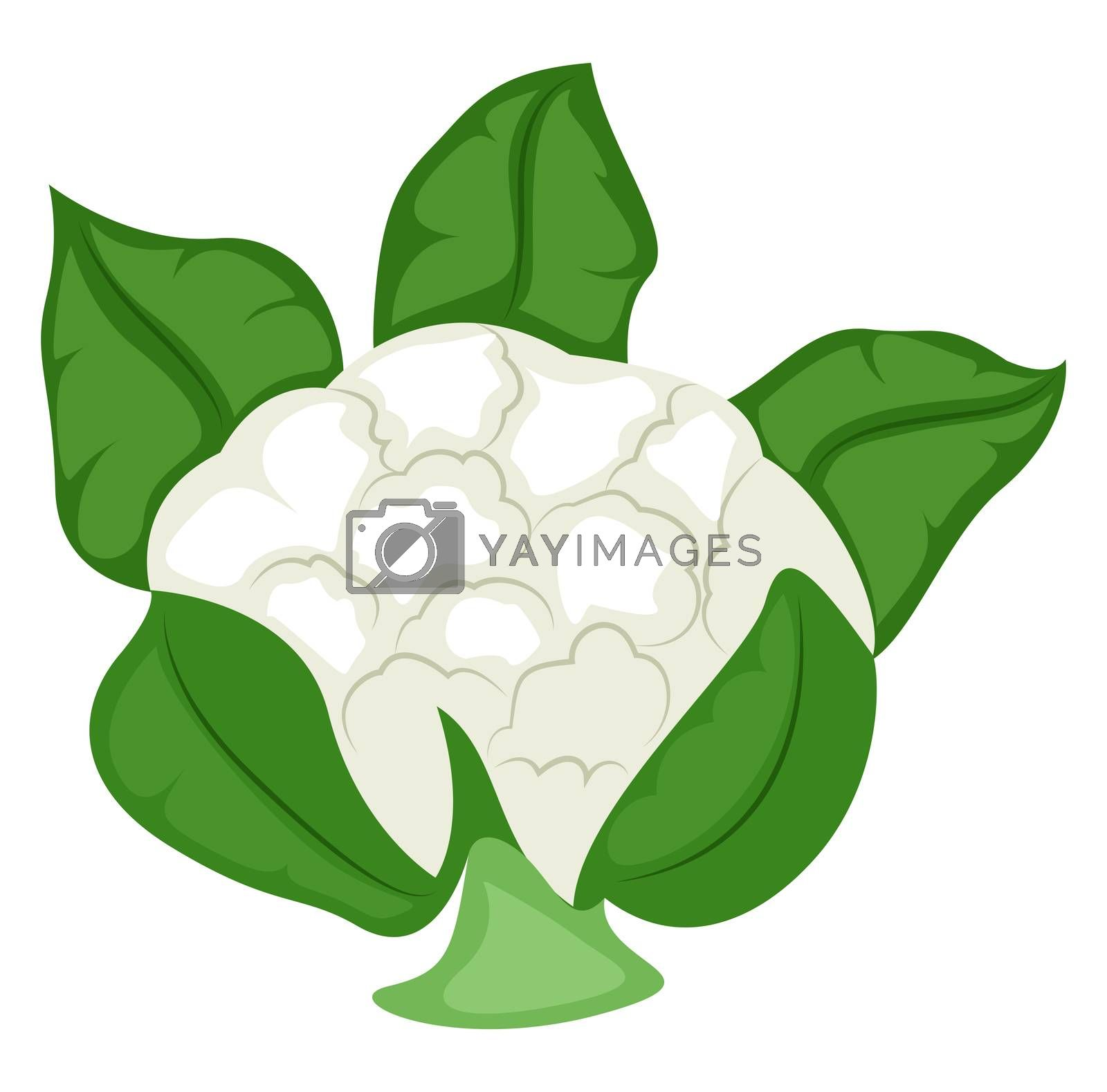 Fresh cauliflower, illustration, vector on white background