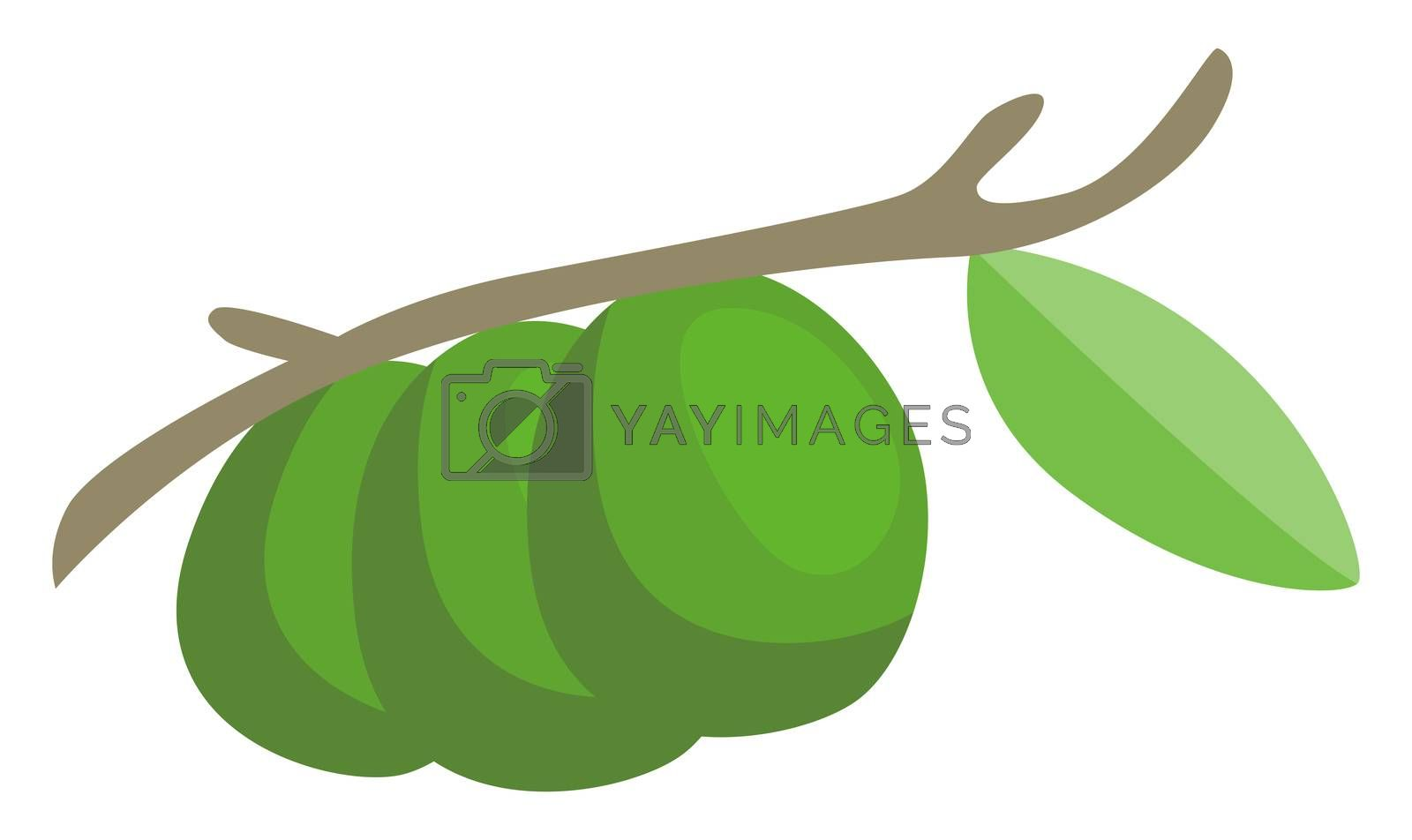 Green avocado on tree, illustration, vector on white background