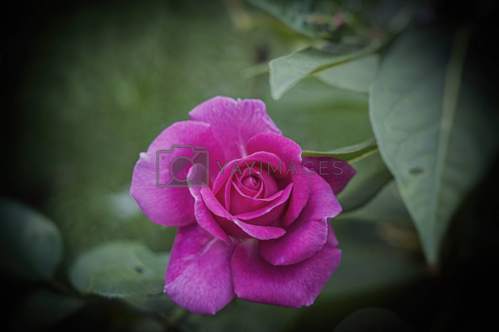beautiful blooming pink rose in natural habitat on the background of green leaves