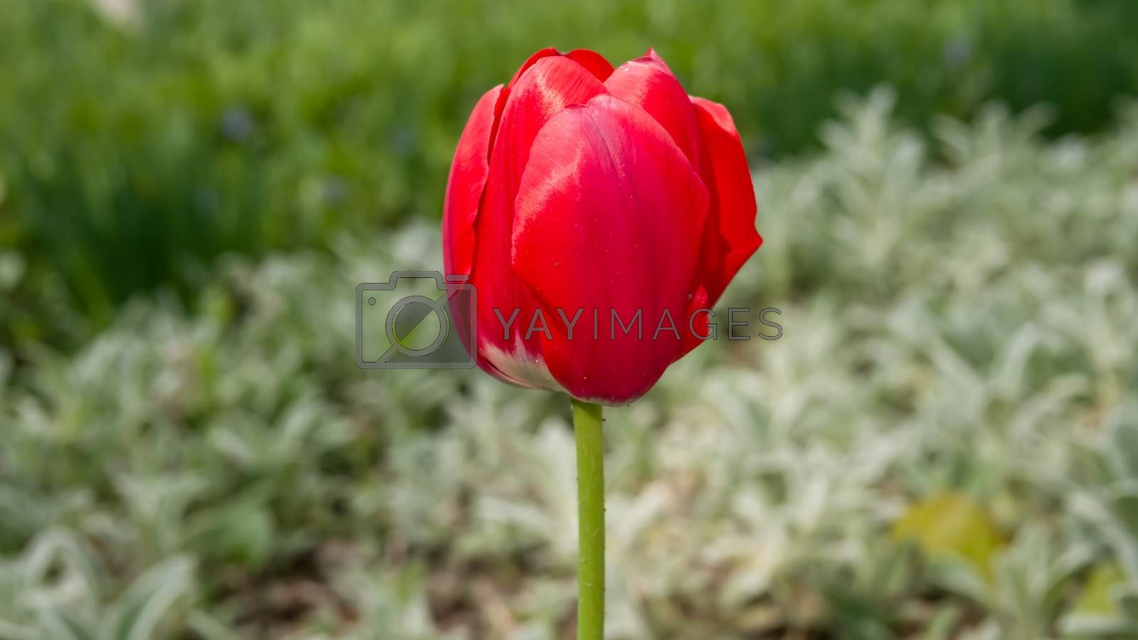Tulip is a perennial flowering plant