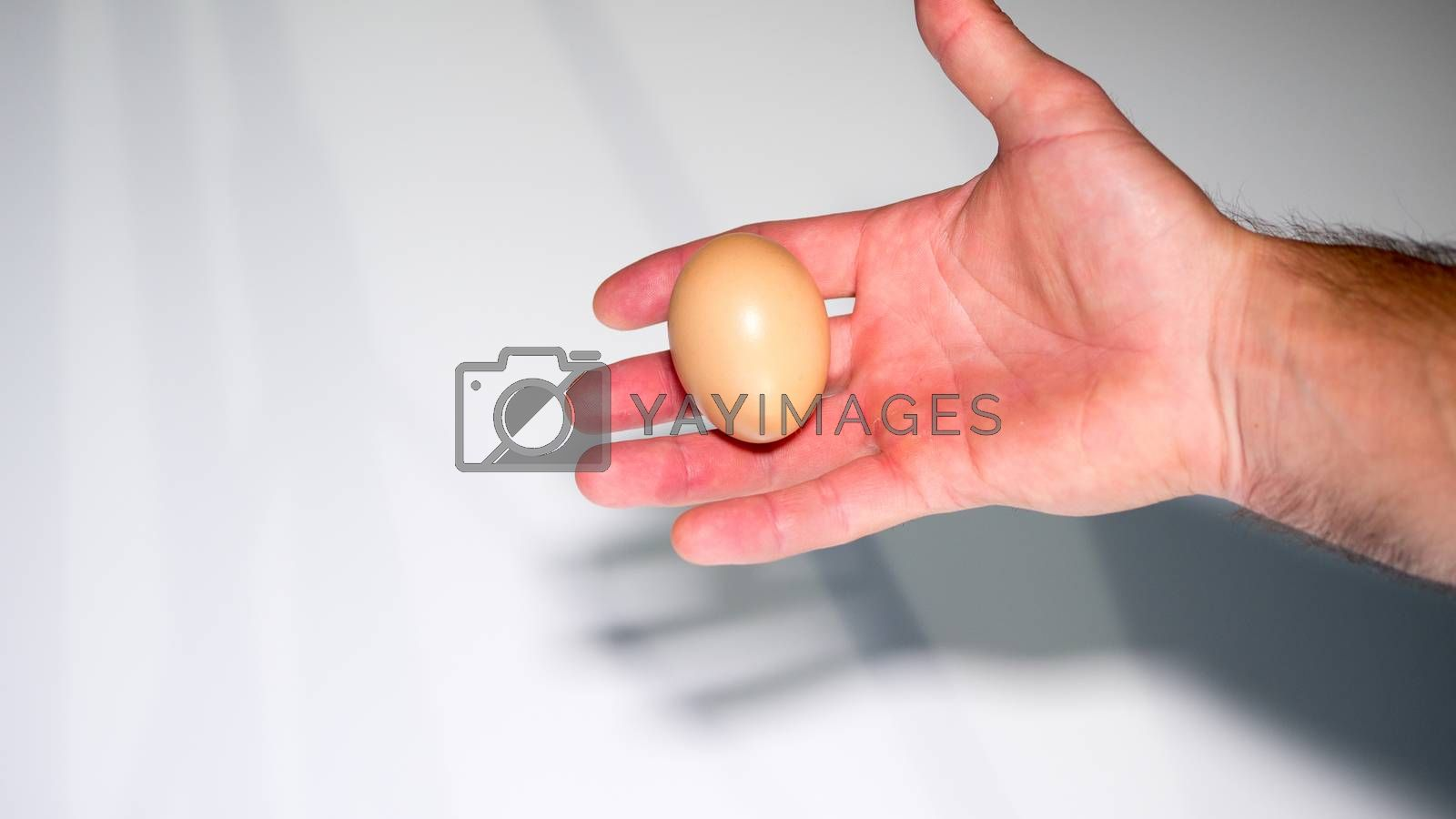 chicken egg in a male hand in a palm