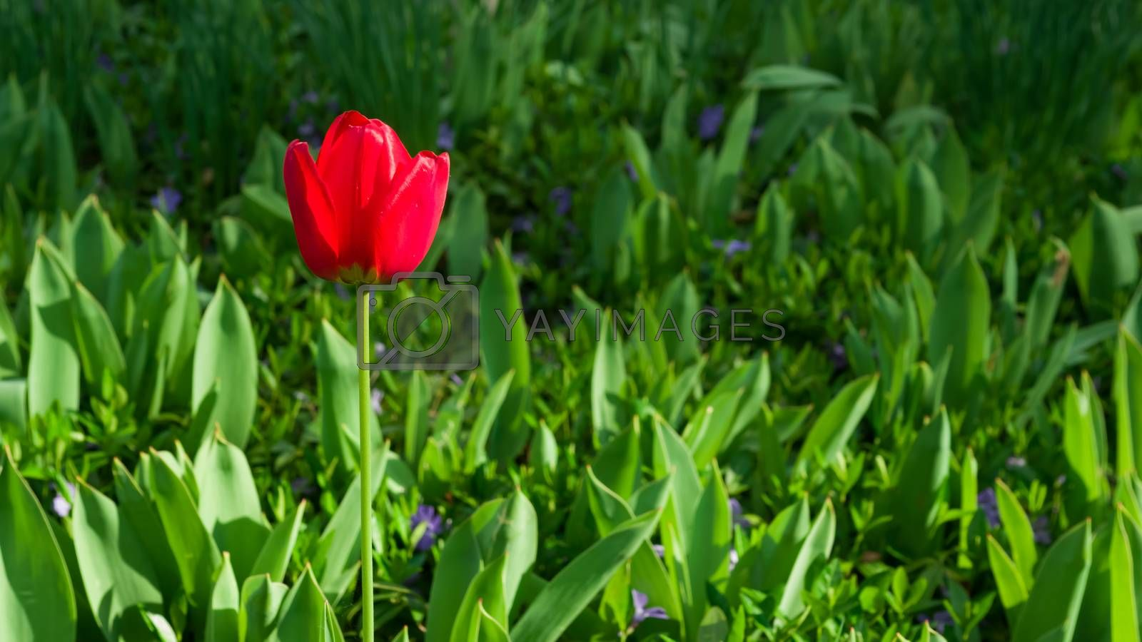 Tulip is the name of the genus of perennial herbaceous bulbous plants