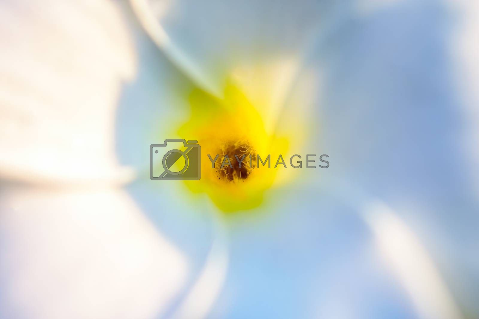 Eaxtreme Close up of beautiful white Bridal Bouquet, Plumeria pudica flower with water drops, copy space