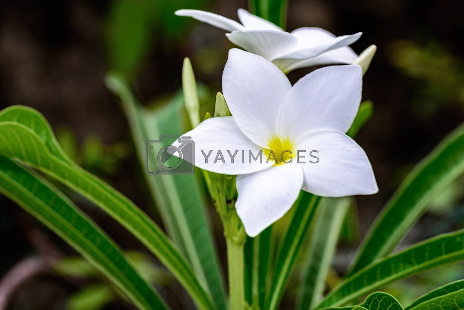 Close up of beautiful white Bridal Bouquet, Plumeria pudica flower with copy space