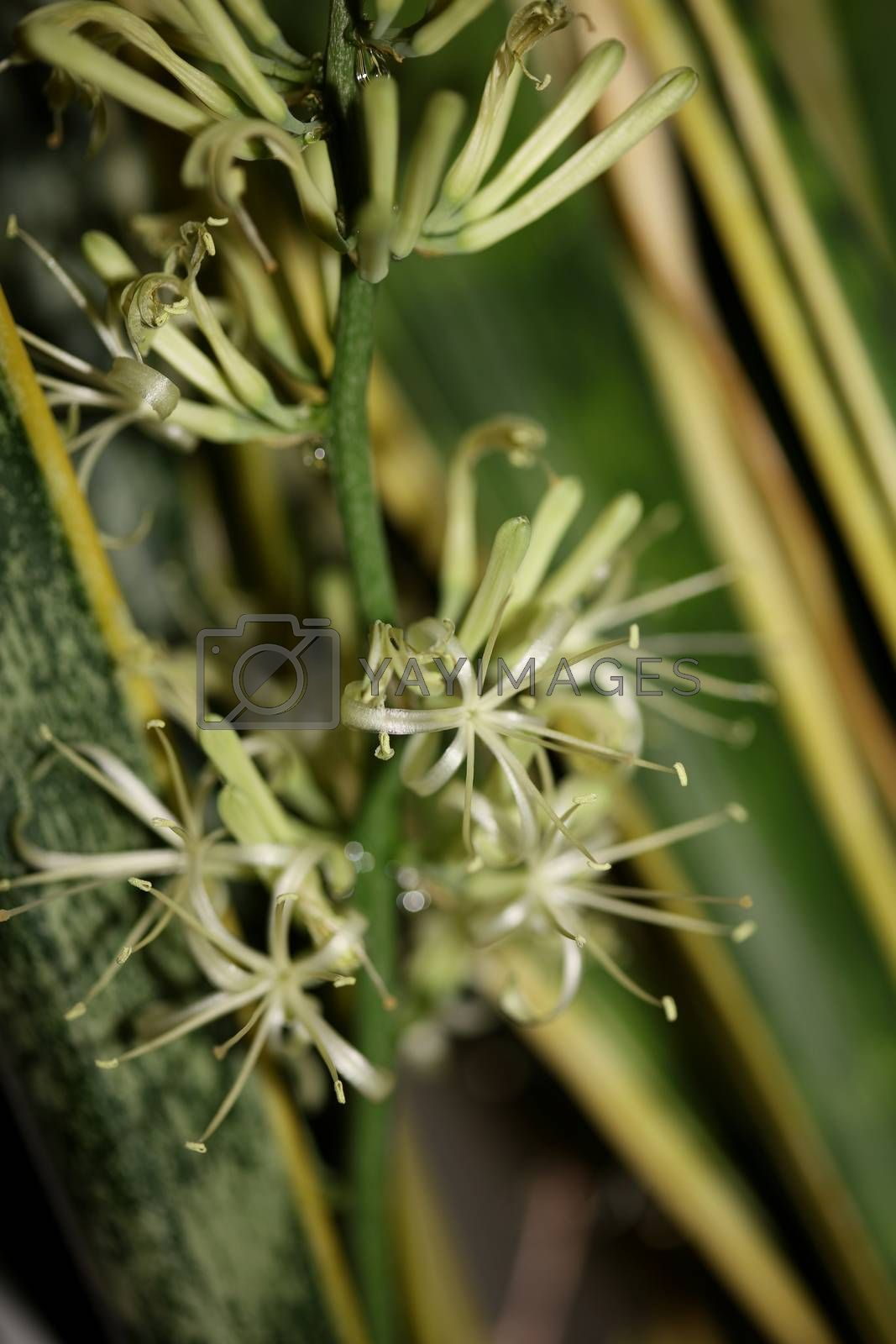 Dracaena trifasciata flower blossoming snake plant asparagaceae family modern high quality print
