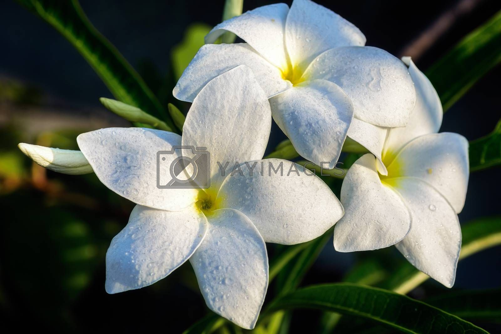 Close up of beautiful white Bridal Bouquet, Plumeria pudica flower with water drops, copy space