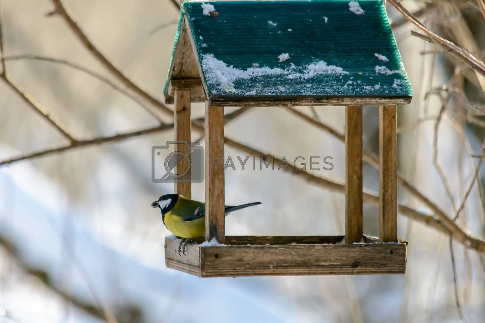 Titmouse pecks grain from the feeder in cold winter