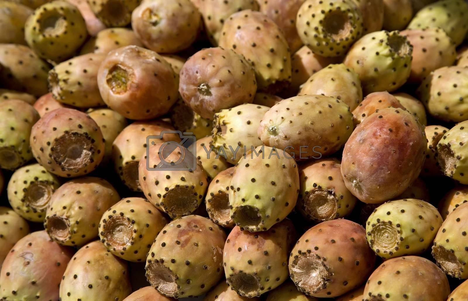 Royalty free image of Fruits of Opuntia ficus-indica , Cactus fruits. by phortcach
