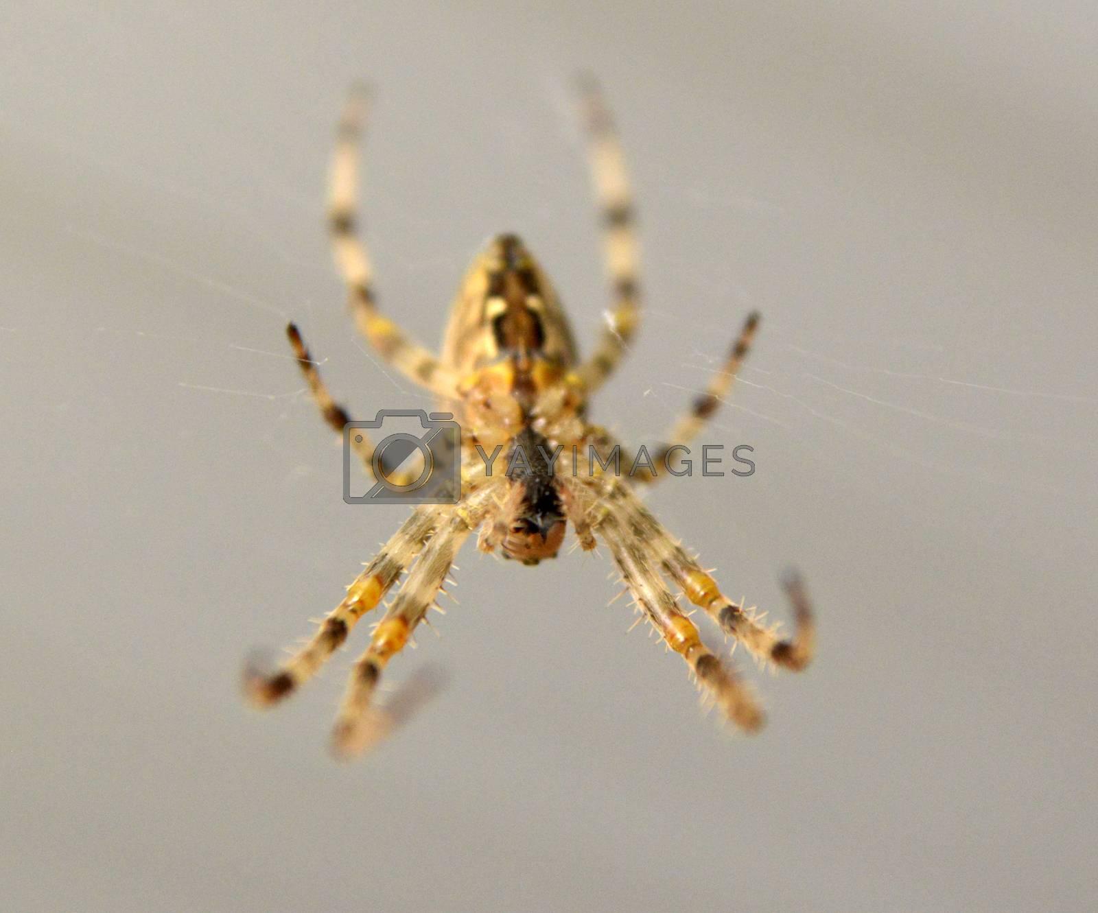 Araneus diadematus European garden spider, diadem spider, orangie, cross spider image