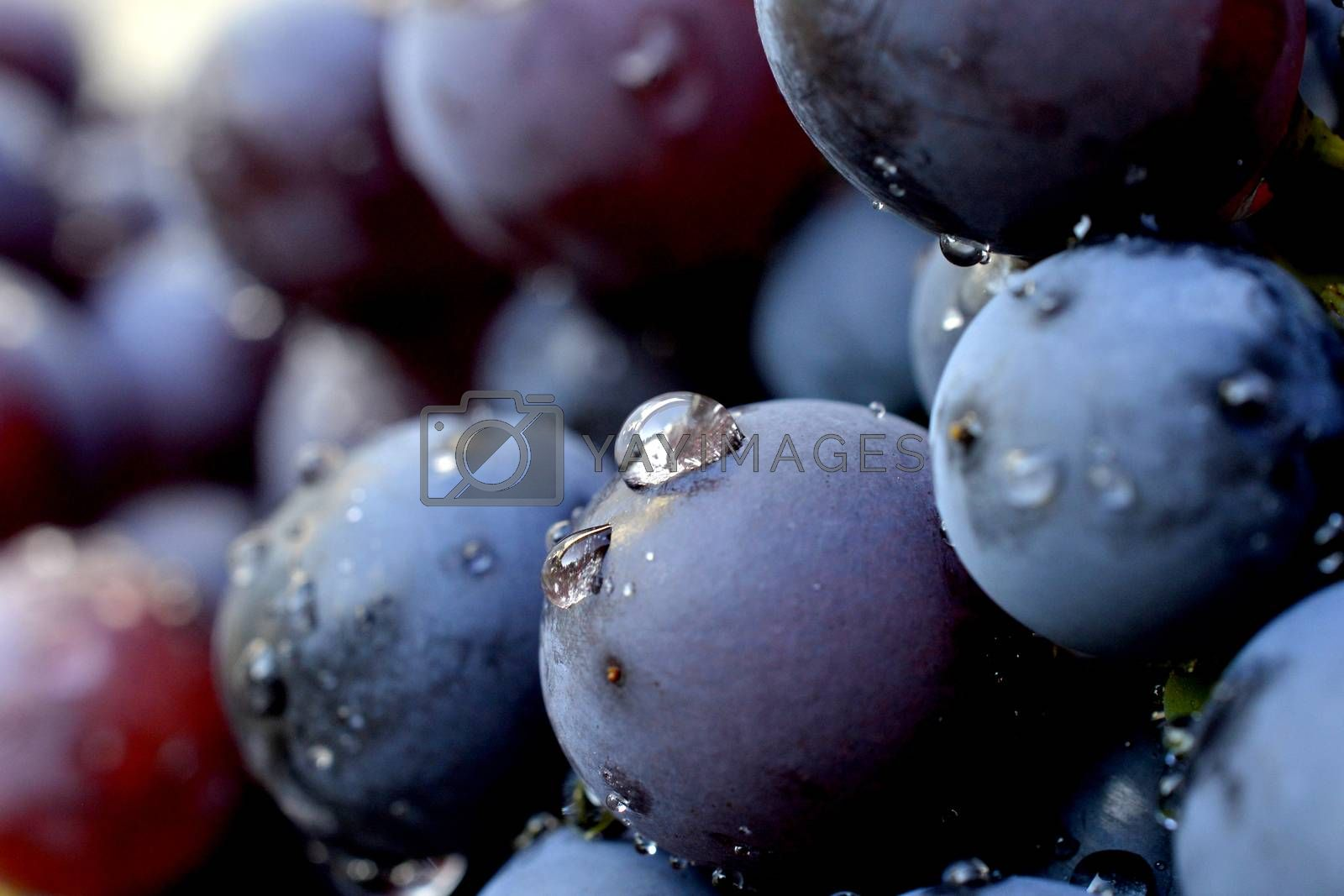 water drops on a red grape by nehru