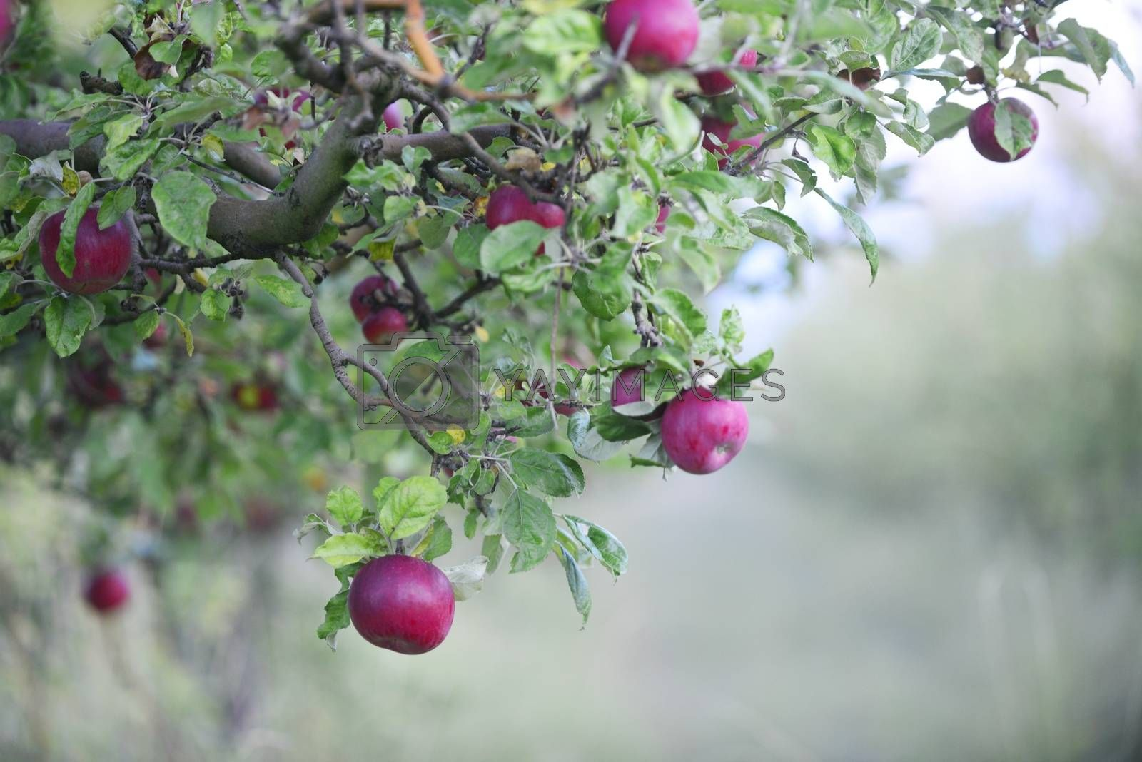 ripe apples in an orchard re