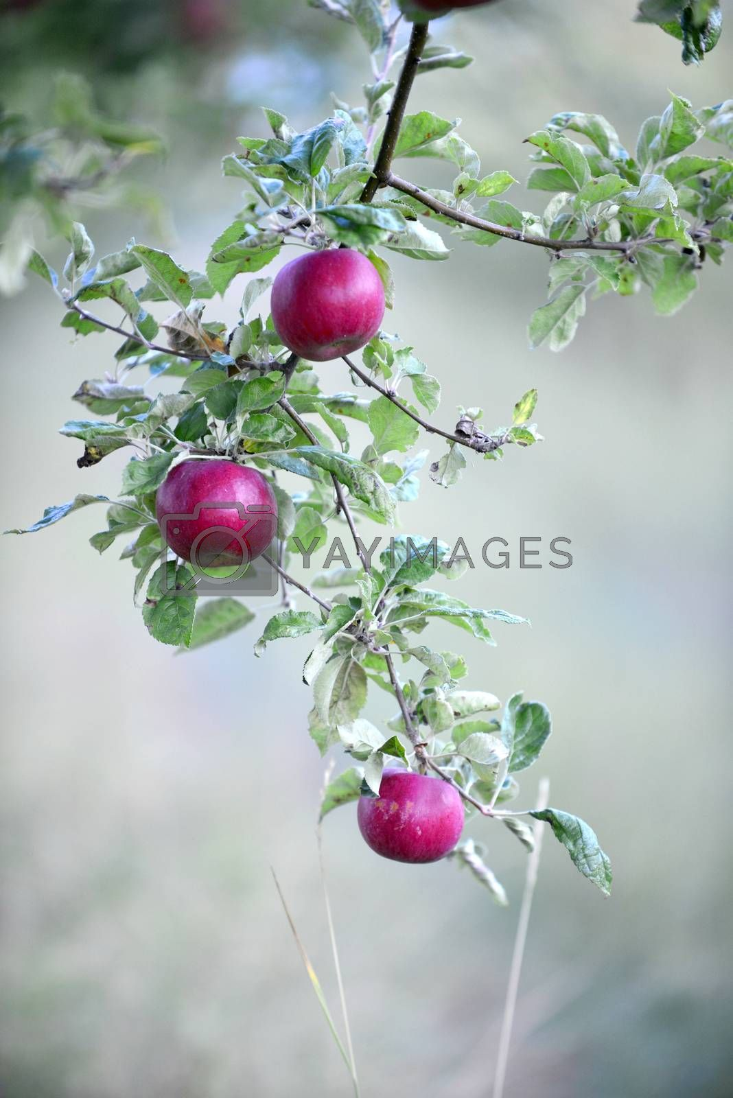 ripe apples in an orchard ready for harvesting ,ocober morning shot image