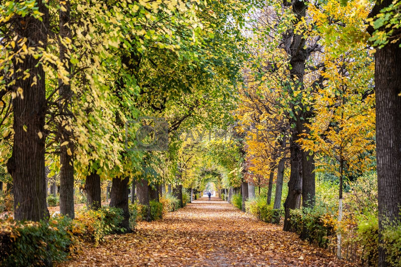 Walkway covered by falling leaves from maple trees inside public park in Austria, leaf changing color from green to yellow in autumn.