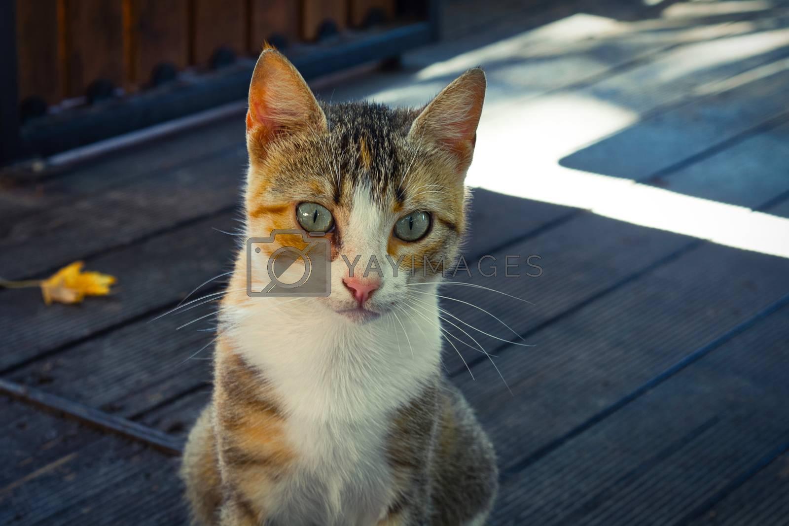 Three color stray cat portrait, starring cute female kitten
