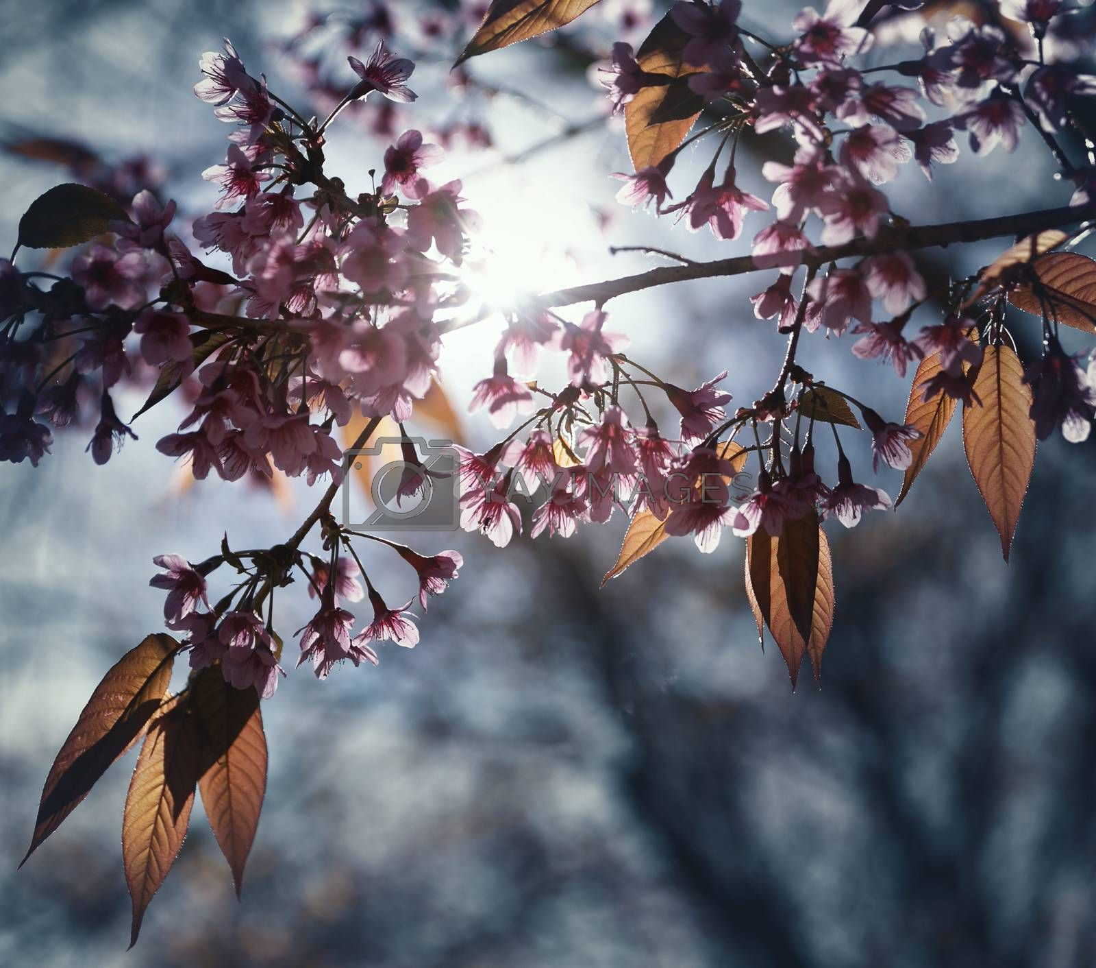 Beautiful Cherry Blossom  or Sakura flower on nature background, by Chokchai