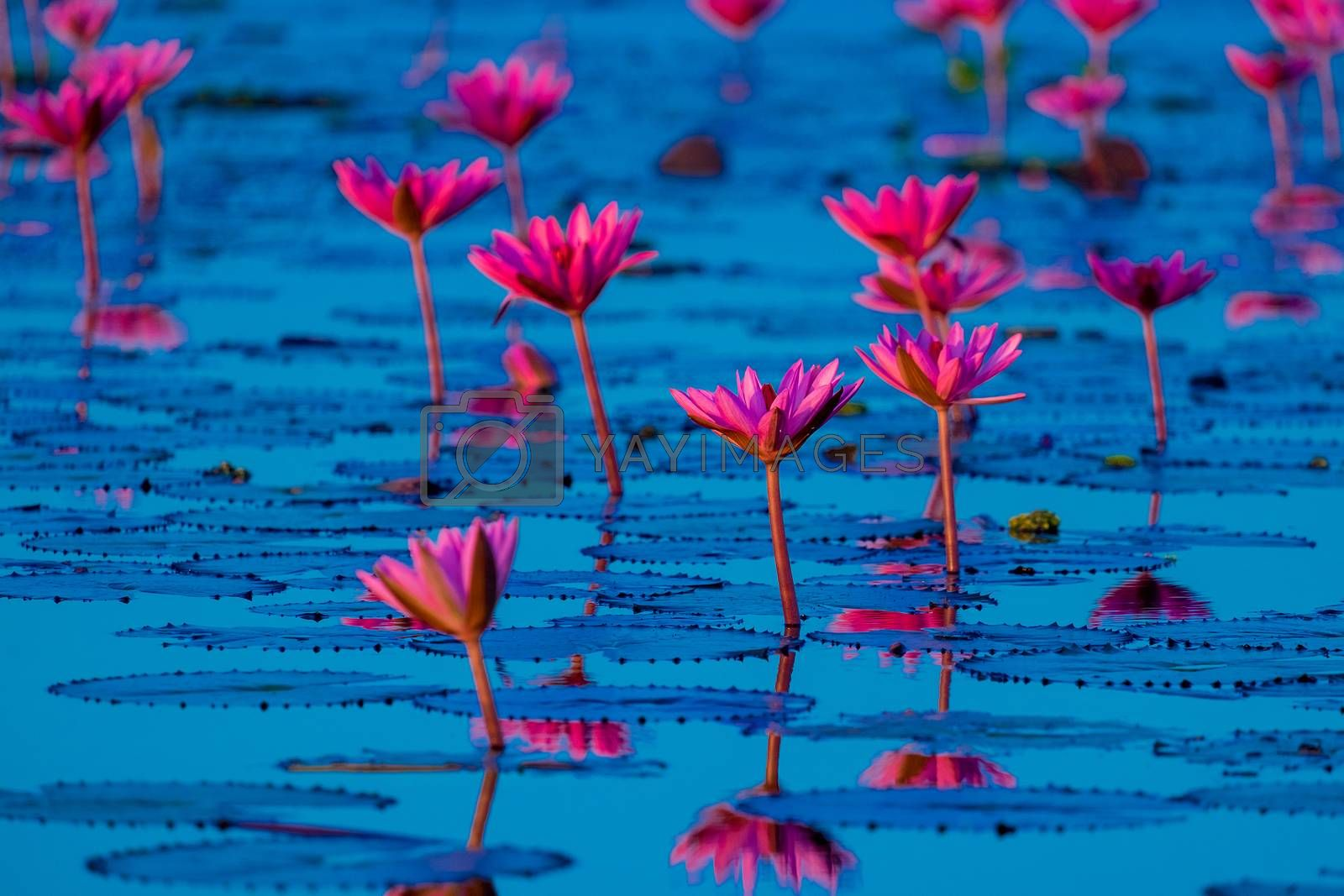 Pink and red lotus lake at Udonthani Thailand