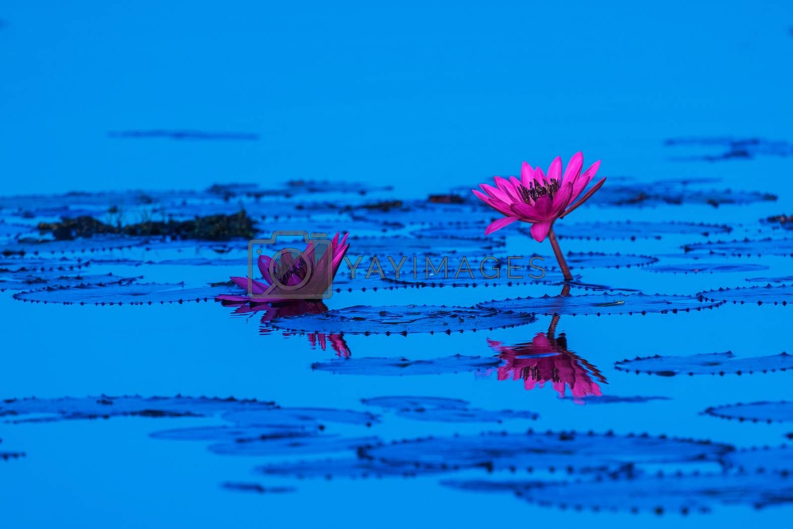 Pink and red lotus lake at Udonthani Thailand by Surasak