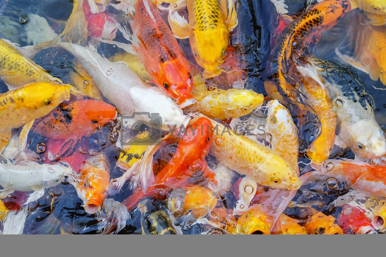 Colorful fancy carp fish, koi fish by Surasak