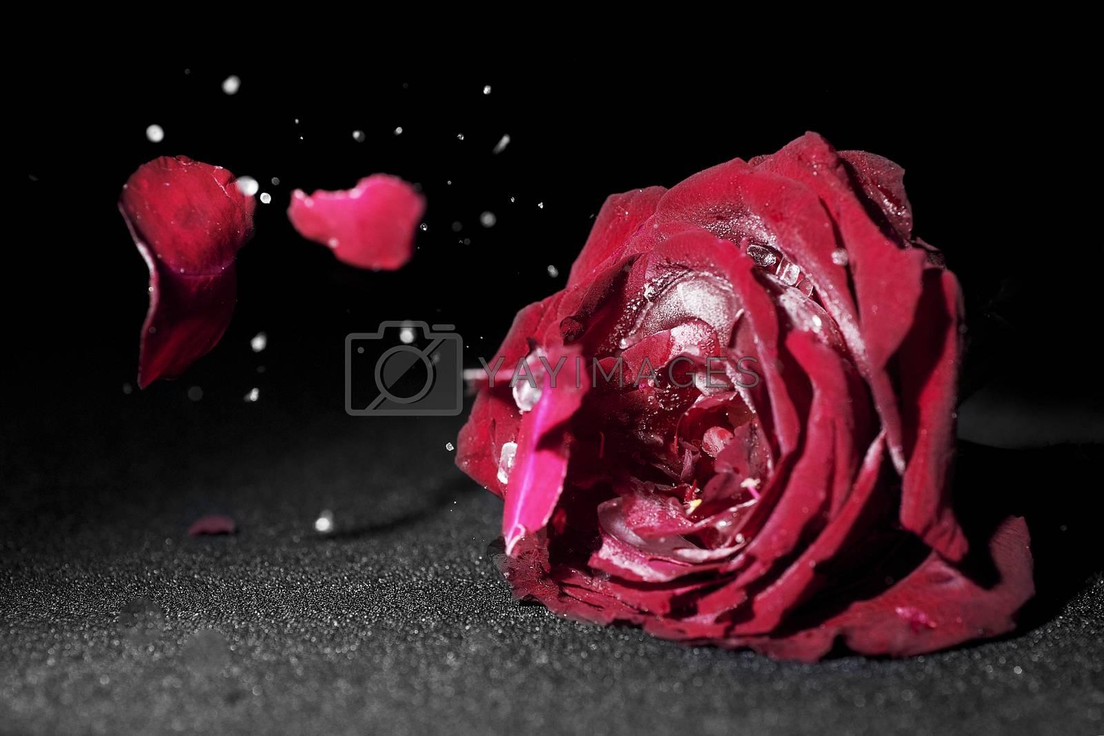 Dried roses broken on black background