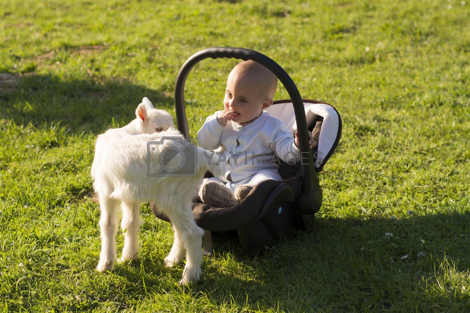 Baby in the carseat and little goat on grass play by adamr