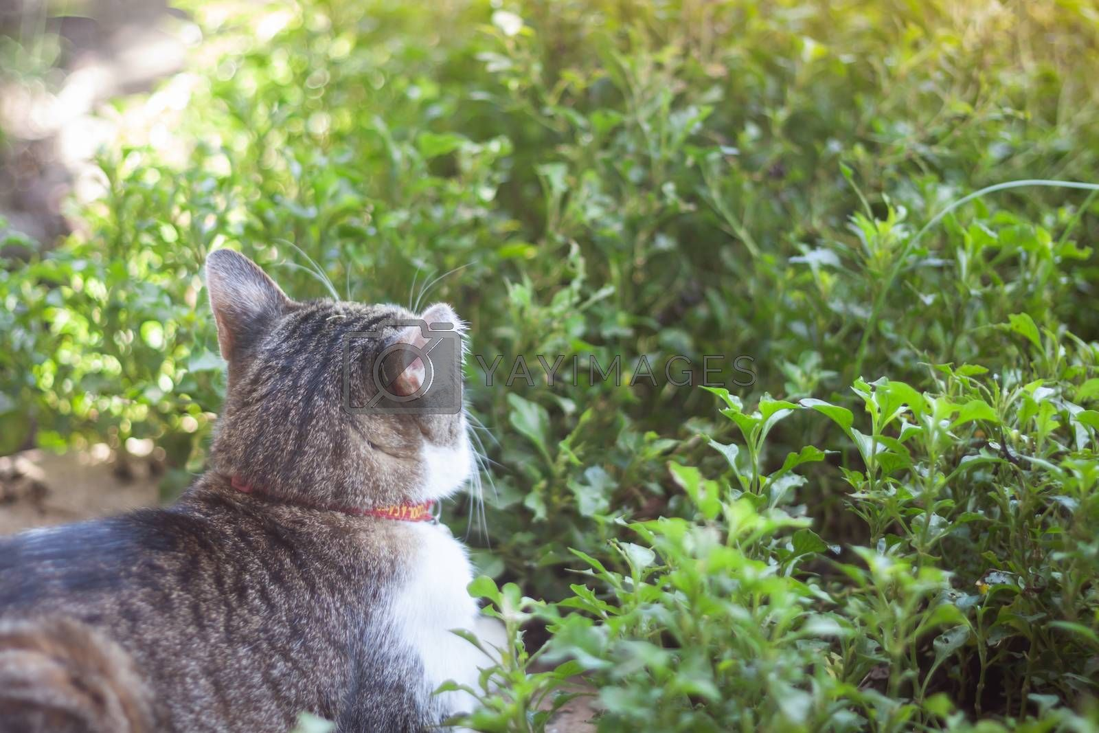 Thai cat chill in garden home, stock photo