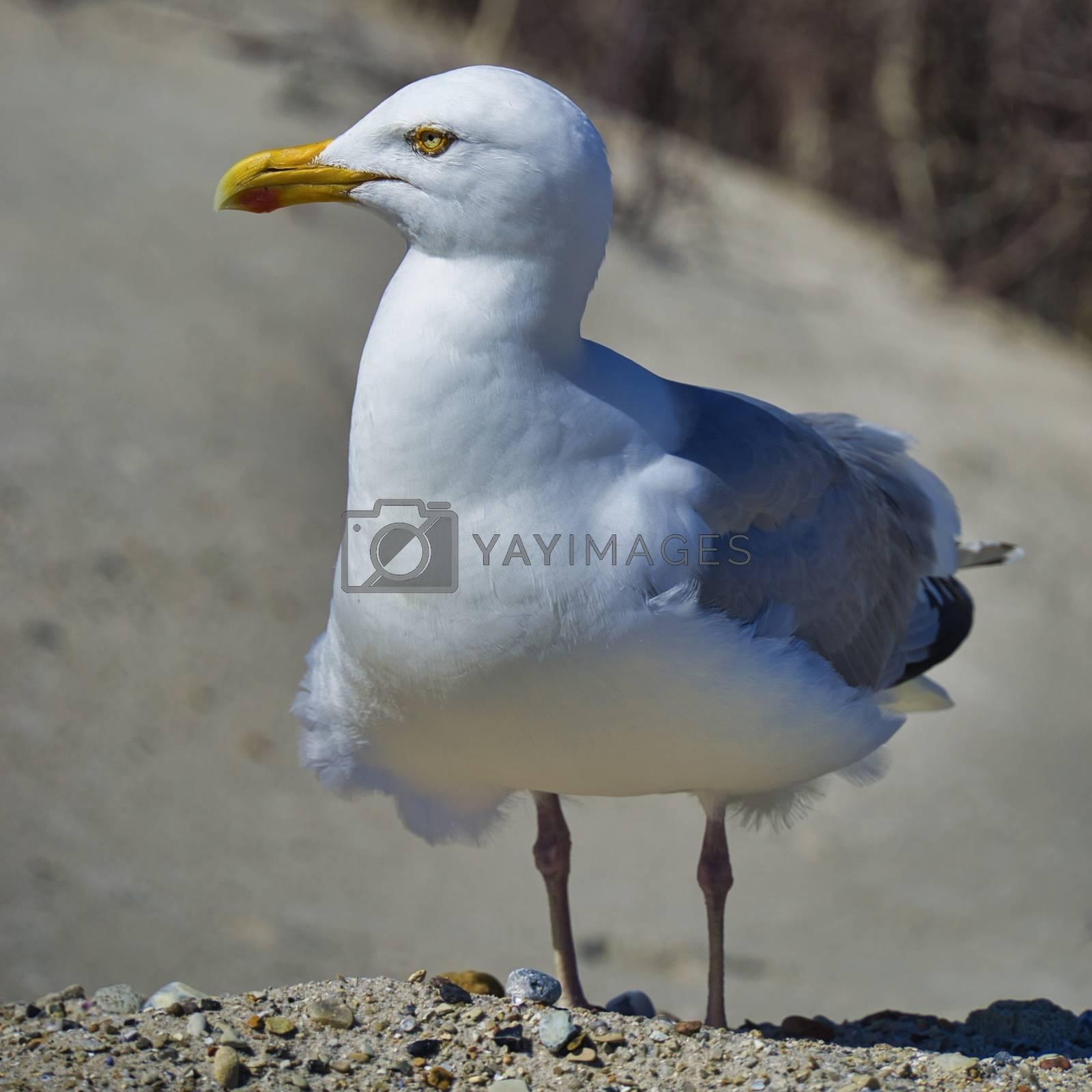 european herring gull on heligoland by Bullysoft