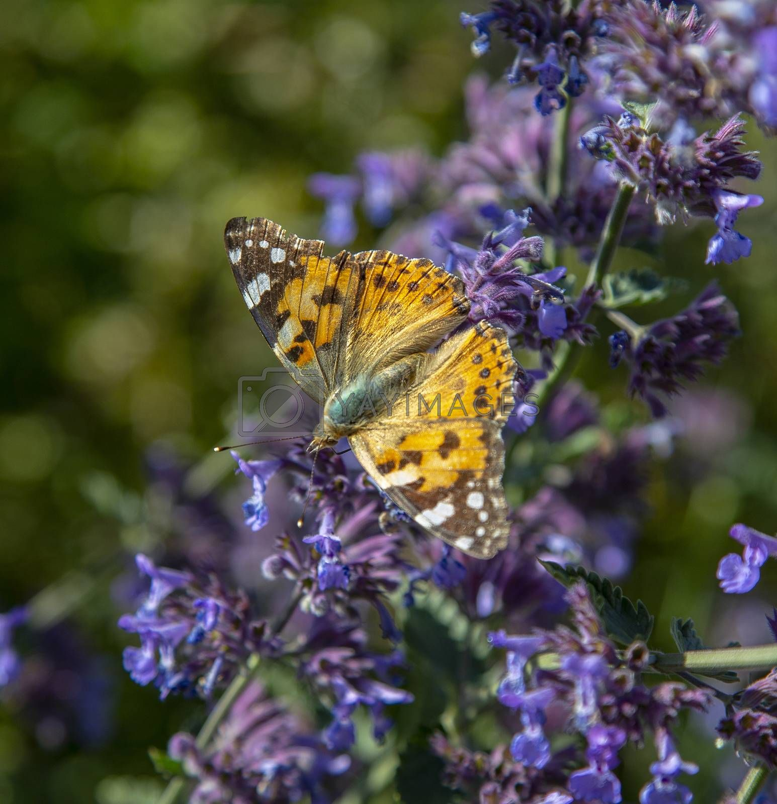Sylt, flowers with painted lady by Gerwin-Schadl-Photographer