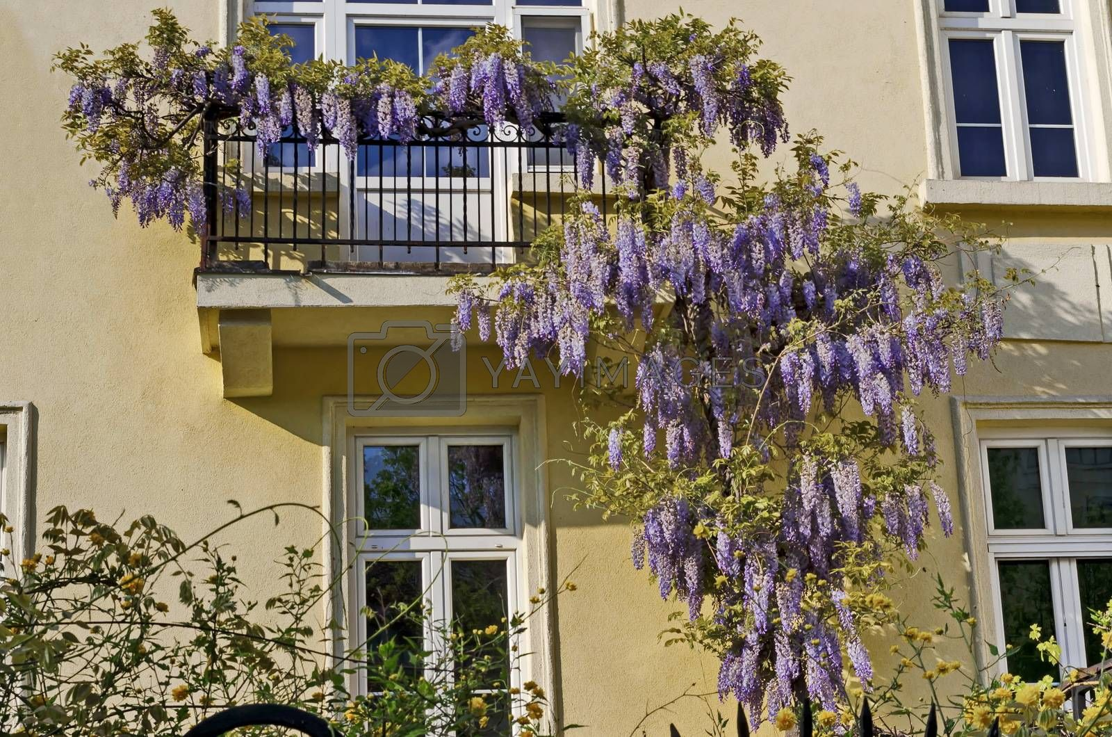 Full flowered purple wisteria with blossom and leaves on a railing at balcony, Sofia, Bulgaria