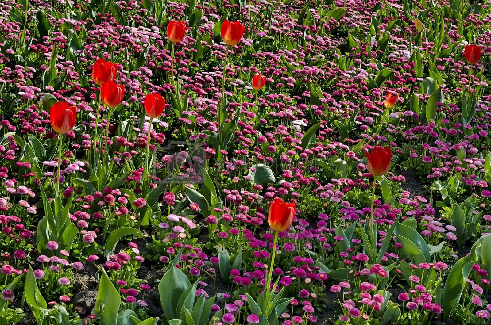 Springtime garden with pink daisies and red tulips in bloom, Sofia, Bulgaria