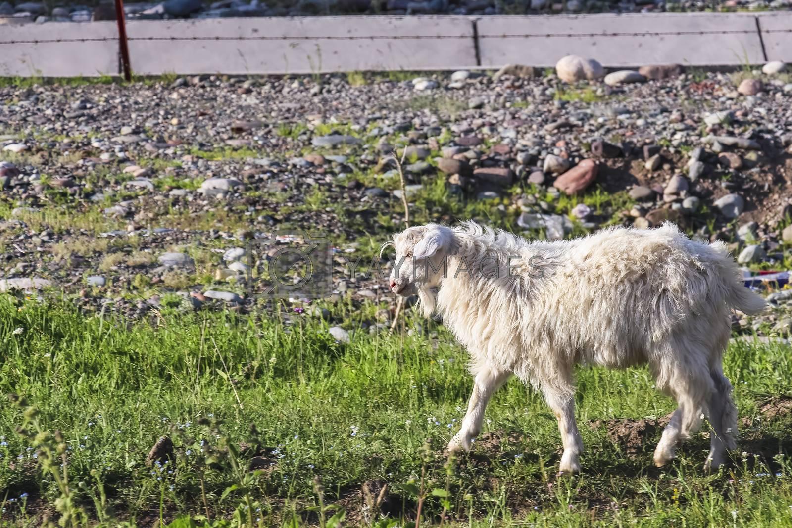 A white fur domesticated Xinjiang goat in Kalajun Grassland