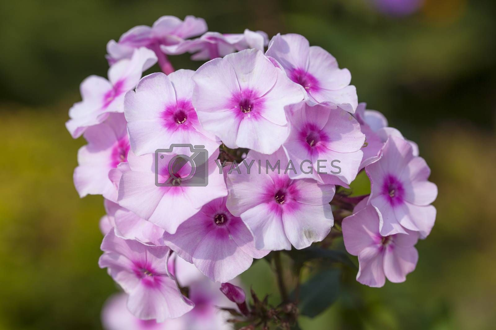 bouquet of purple flowers close up by maselkoo99