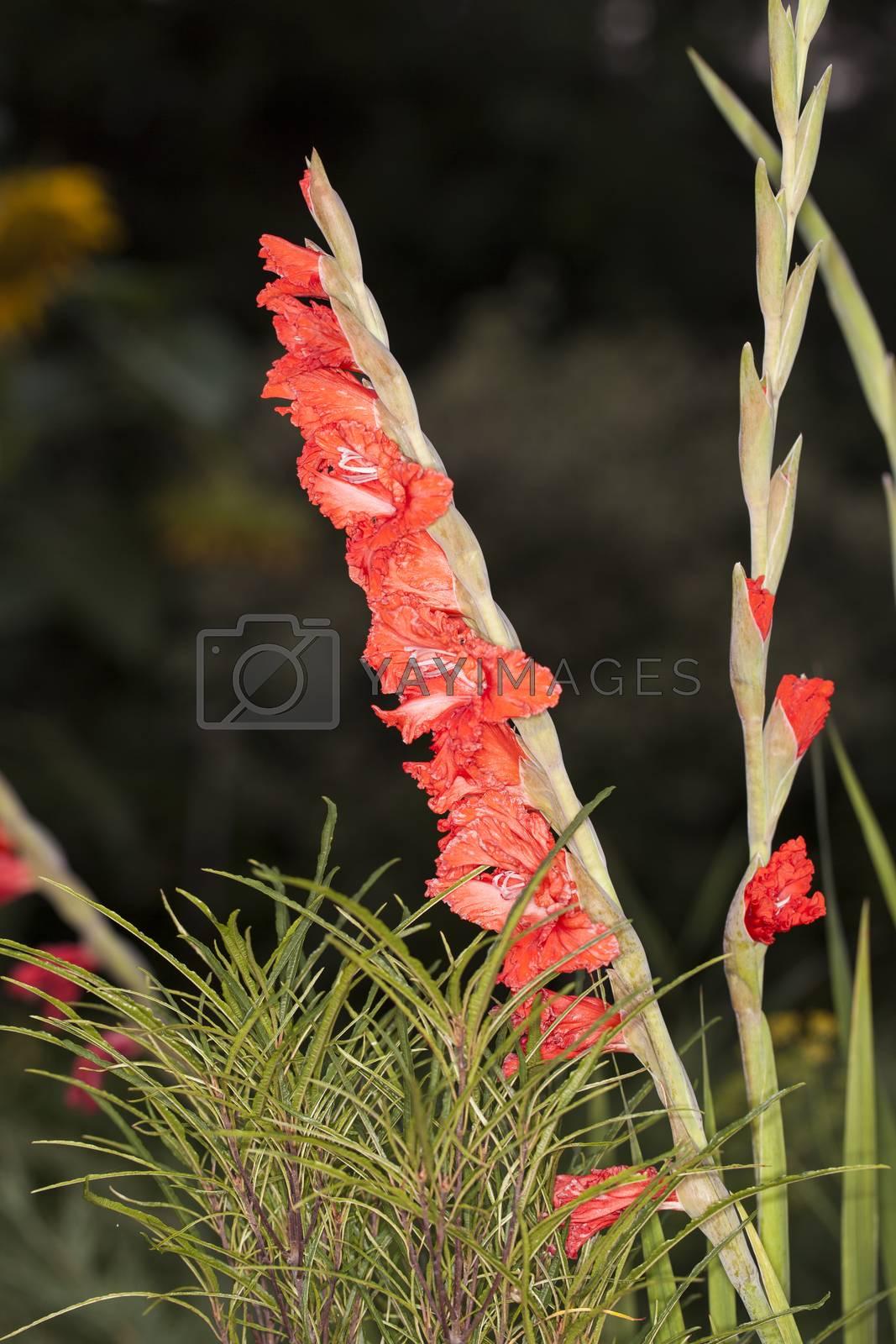 Gladiolus hybridus, gladiolus garden by maselkoo99